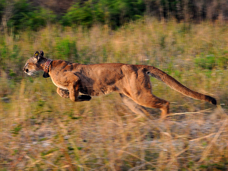 Groups Sue to Protect Endangered Florida Panthers from Road Project
