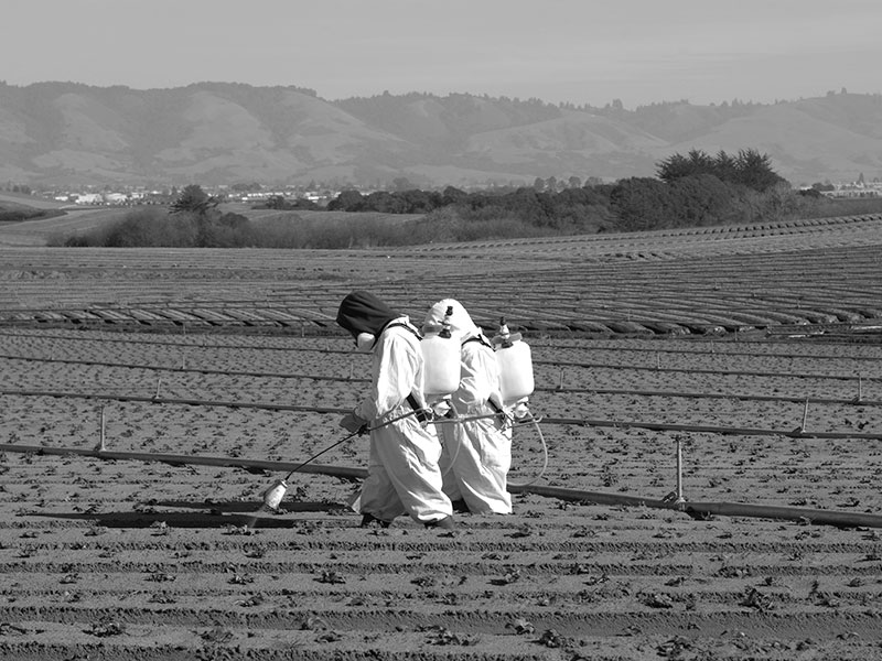 Two farm workers in protective clothing spraying insecticide on newly planted strawberries.