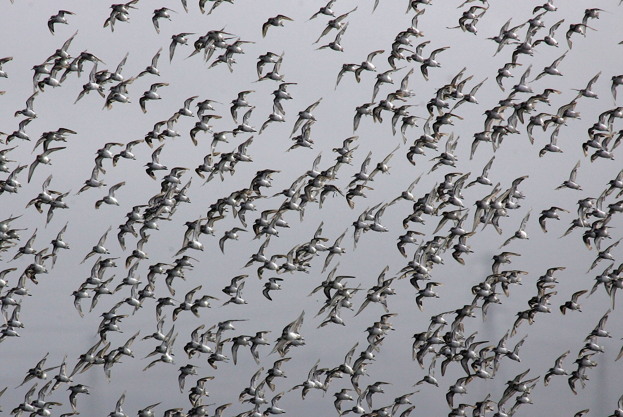 A flock of Western Sandpipers fly by at the Napa-Sonoma Marshes Wildlife Area in Sonoma, California.
