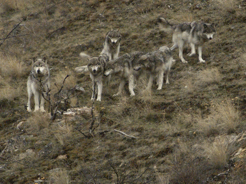 Members of the Golden pack in the  Frank Church-River of No Return Wilderness.