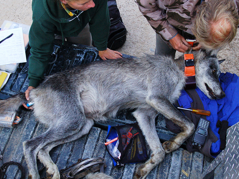 Biologists fit a female gray wolf with a radio tracking collar.