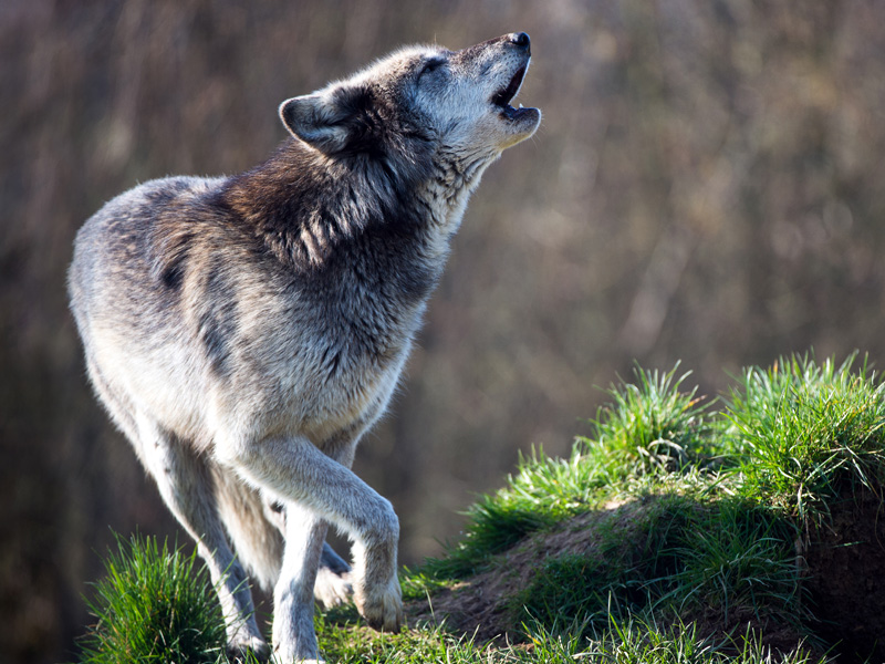 The gray wolf is in danger of going extinct and may be in even more danger due to Congressional attacks.
