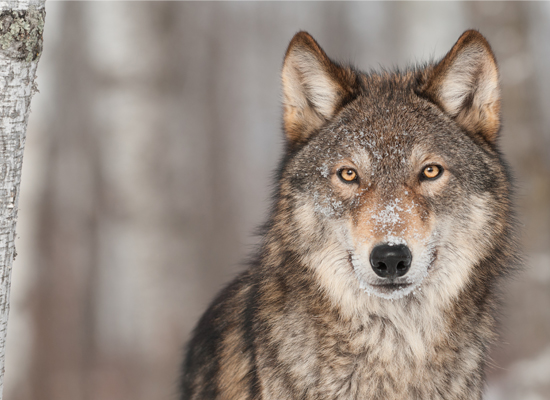 Endangered Gray Wolf (Holly Kuchera / Shutterstock)
