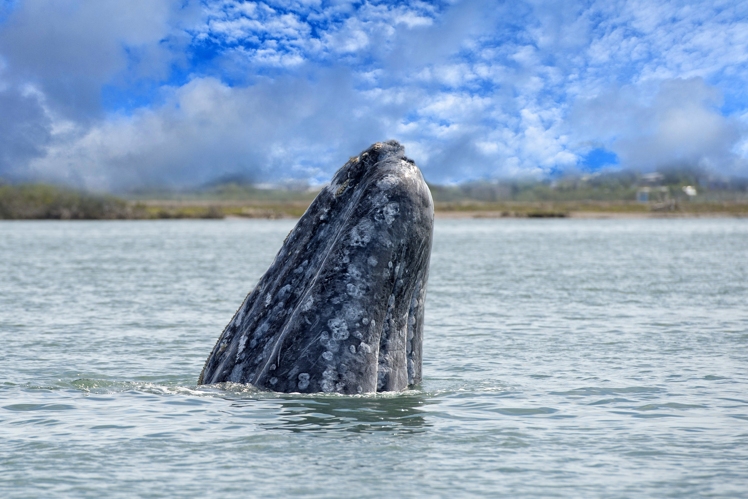 A gray whale mother surfacing in the Pacific Ocean.