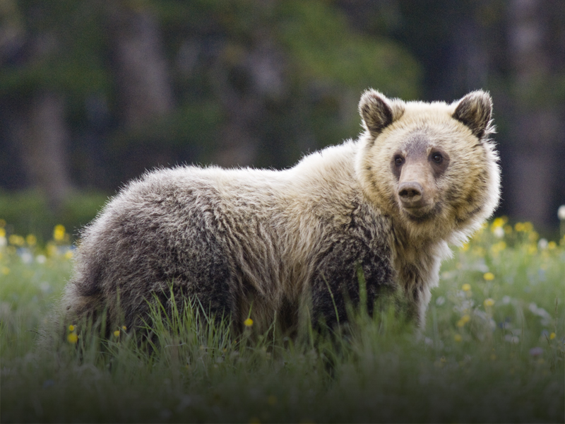 A juvenile grizzly stands in a summer wildflower field in Yellowstone National Park.