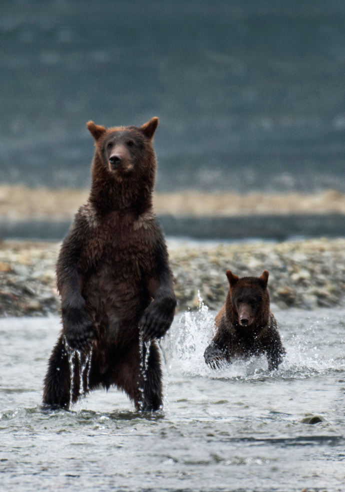 Two brown bears photographed in the Tongass.