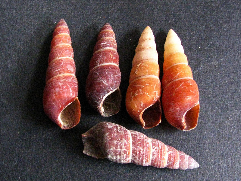 The shells of now extinct carelia cochlea, a species of land snail found on Hawai'i.