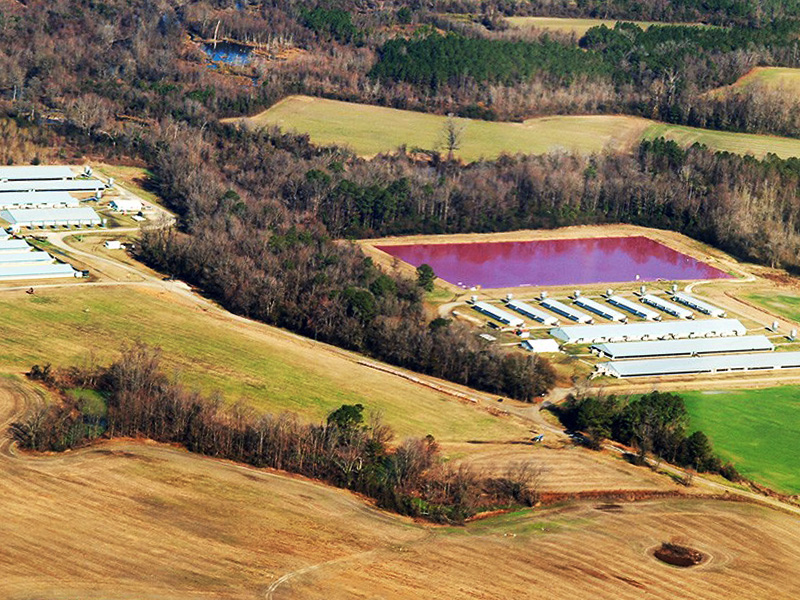 An industrial hog facility in North Carolina.