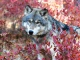 Feds Betray Wyoming Wolves