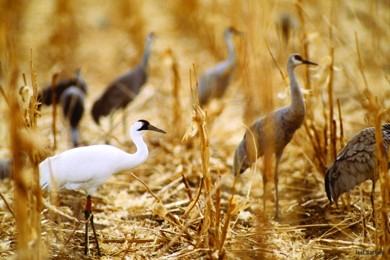 whooping crane the most famous endangered bird in north america Whooping cranes (grus americana) are one of the most critically endangered birds in the world their remnant population, referred to as the aransas-wood buffalo population, numbers between 300-400 individuals and migrates between the us gulf of mexico coast and north-central canada twice each year.