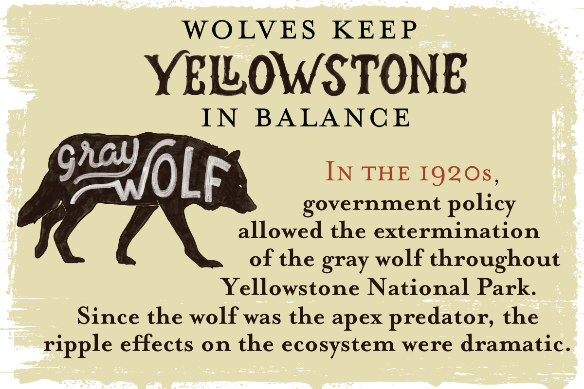 In the 1920s, government policy allowed the extermination of Yellowstone's gray wolf -- the apex predator -- triggering an ecosystem collapse known as trophic cascade.