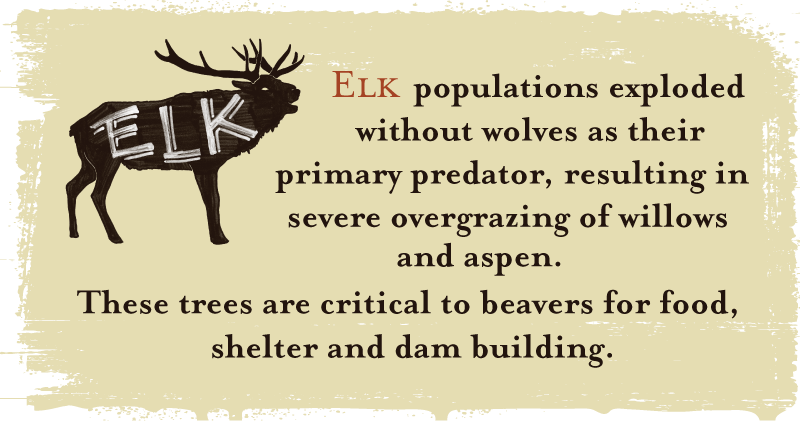 Elk populations exploded without wolves as their primary predator, resulting in severe overgrazing of willows and aspen. These trees are critical to beavers for food, shelter and dam building.
