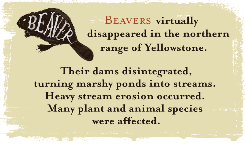 Beavers virtually disappeared in the northern range of Yellowstone. Their dams disintegrated, turning marshy ponds into streams. Heavy stream erosion occurred. Many plant and animal species were affected.