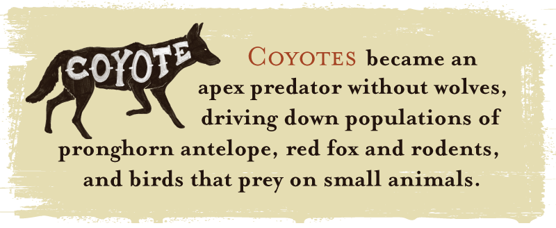 Coyotes became an apex predator without wolves, driving down populations of pronghorn antelope, red fox and rodents, and birds that prey on small animals.