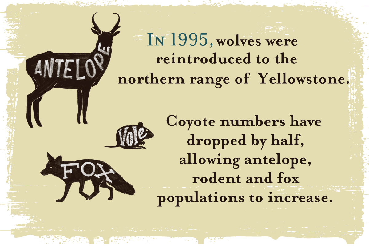 In 1995, wolves were reintroduced to the northern range of Yellowstone. Coyote numbers have dropped by half, allowing antelope, rodent and fox populations to increase.
