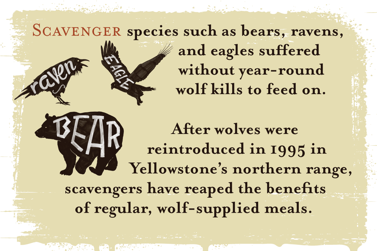 Scavenger species such as bears, ravens and eagles suffered without year-round wolf kills to feed on. After wolves were reintroduced in 1995 in Yellowstone's northern range, scavengers have reaped the benefits of regular, wolf-supplied meals.