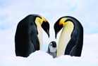 Graphic of irreplacable species, emperor penguin.