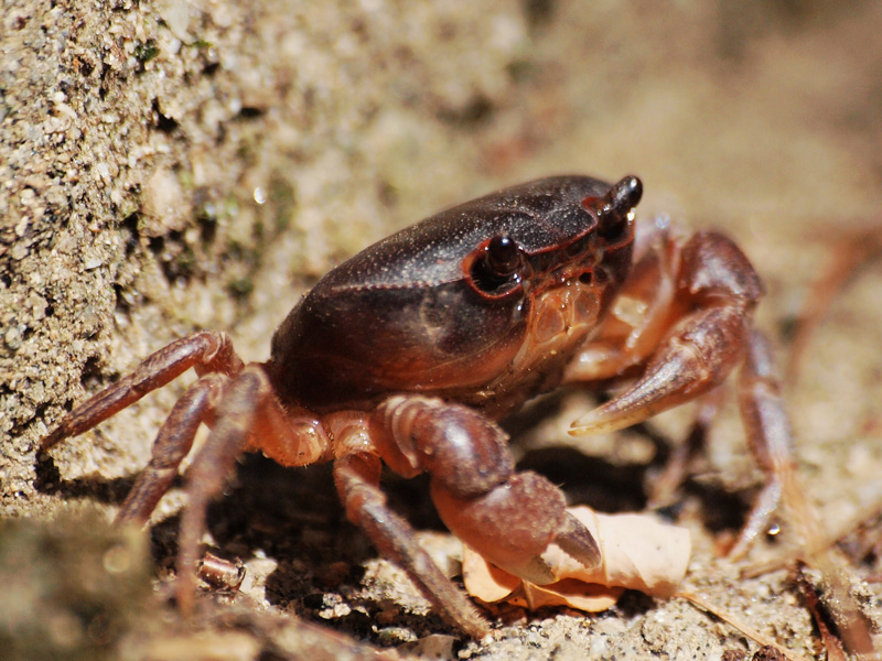 34 percent of freshwater crabs are threatened.