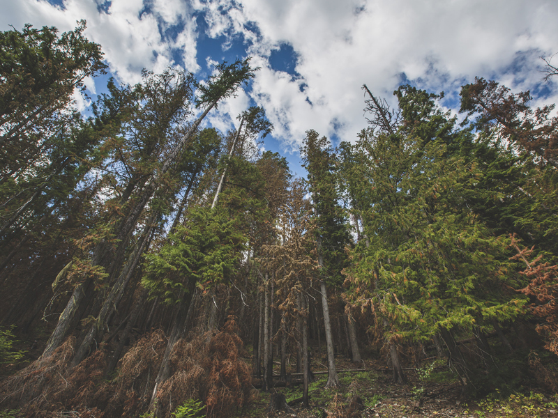 Trees in the Kootenai National Forest in Montana
