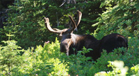 Clearwater National Forest, Idaho. A large bull moose in the Great Burn roadless area in Idaho's Clearwater National Forest. (John McCarthy / TWS)