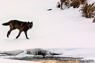 His distinctive gait, walking on three legs, made him one of the more easily recognized wolves in Yellowstone.