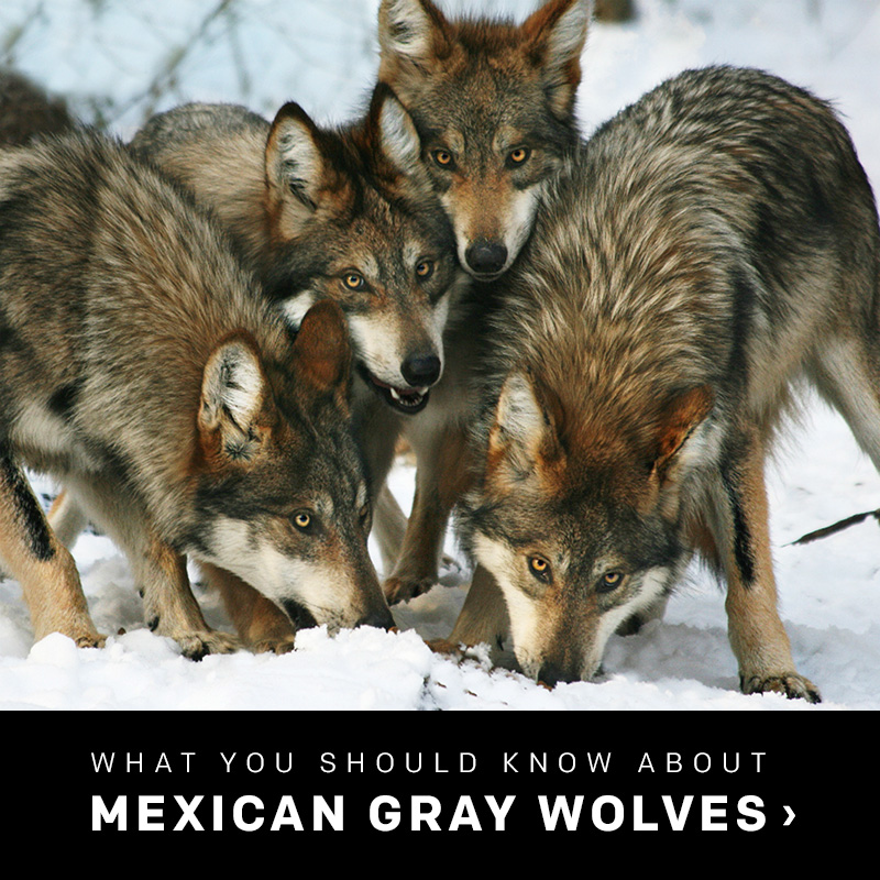 What you need to know about Mexican gray wolves