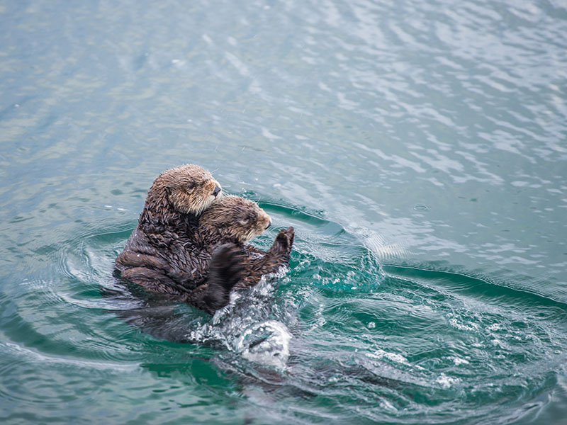 A female adult sea otter swims with her baby in a kelp forest off the coast of Big Sur, California.