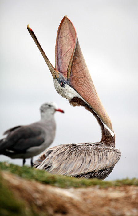 Brown pelican in Monterey Bay.