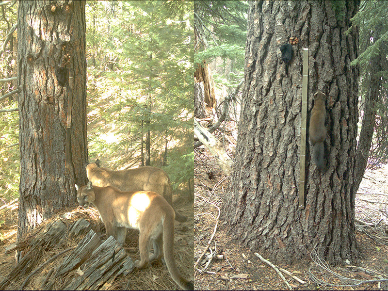 A pair of mountain lions, in living color, ponder their 'chicken-in-a-sock' hunting strategy. Pine marten tries his teeth at 'Chicken-in-a-sock'. (SNAMP)