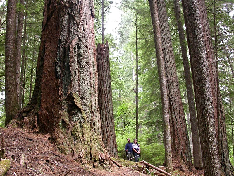 An old-growth forest in Oregon, Coast Range, Coos Bay. The marbled murrelet feeds at sea but nests only in old-growth forests along the Pacific Coast.