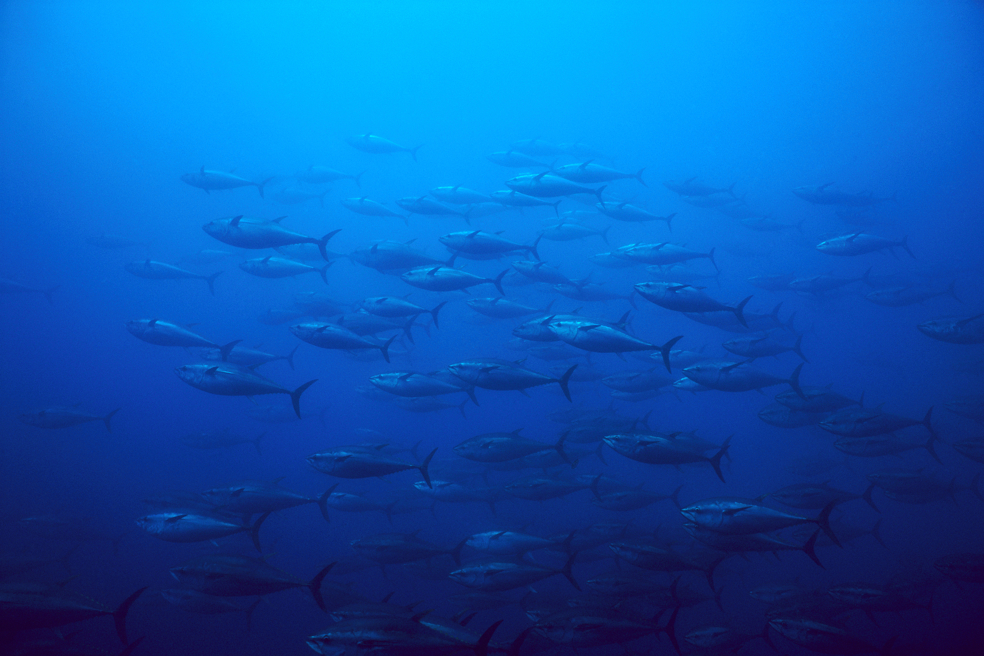 A school of bluefin tuna swimming in the depths of the Atlantic Ocean.