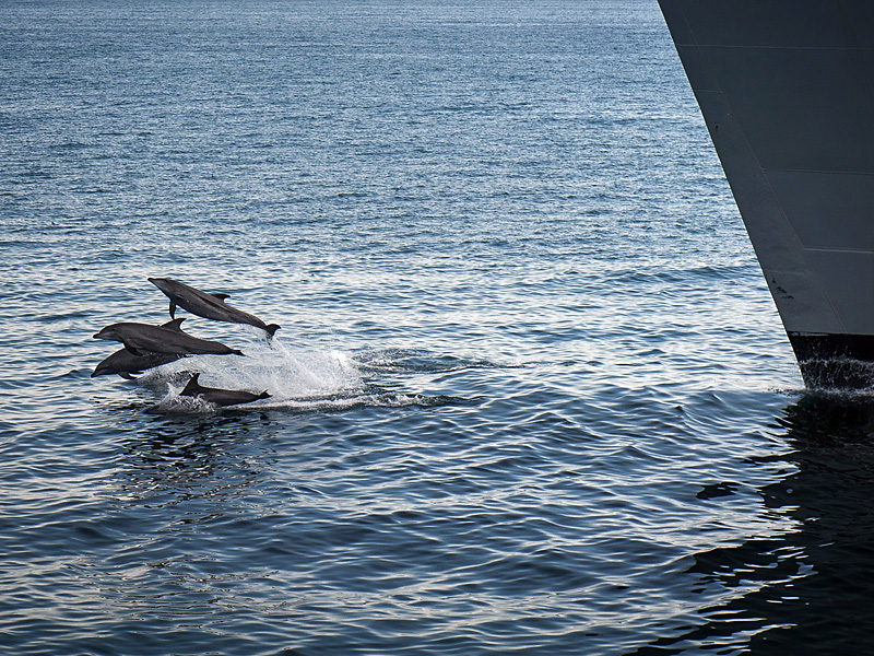Dolphins swim in front of the USNS Alan Shepard.