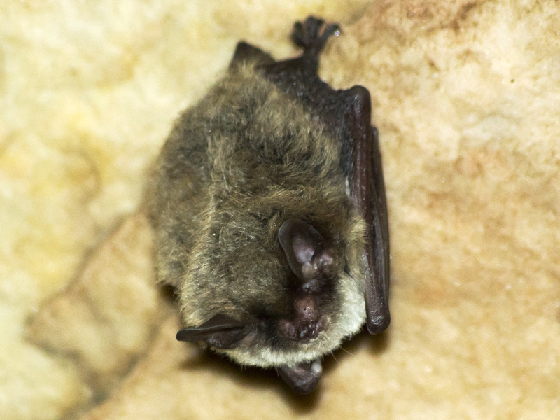The northern long-eared bat has experienced rapid population loss due to a disease known as