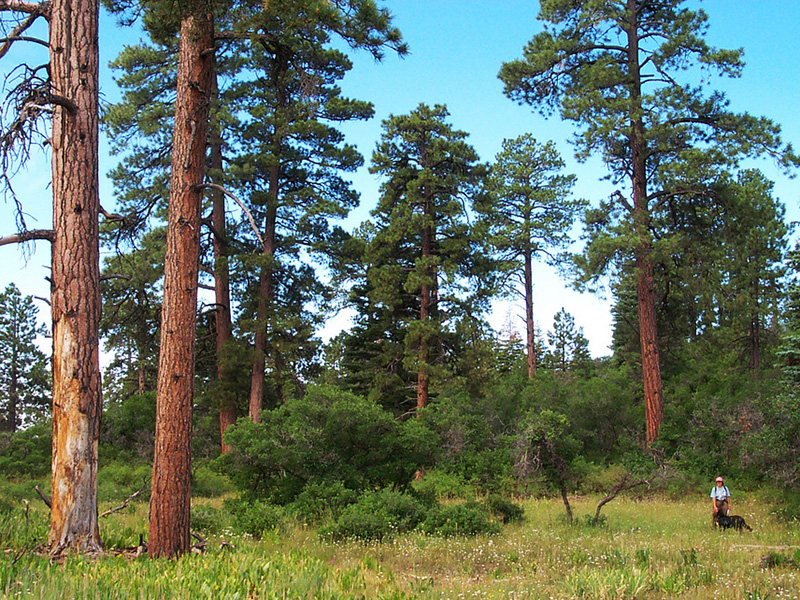 Old-growth pine trees in the HD Mountains roadless area in Colorado's San Juan National Forest.