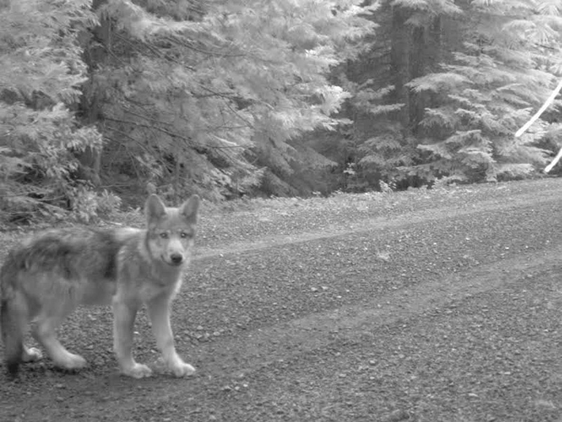One of OR7's pups triggers a remote camera on July 12, 2014 in the Oregon Cascades.