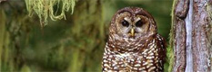Northern spotted owl. (Greg Vaughn / FWS)