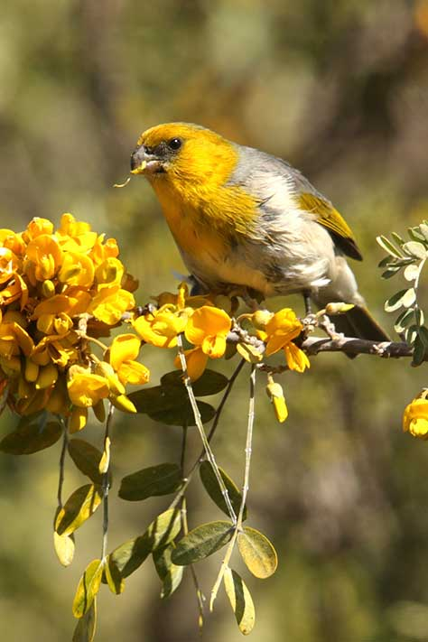 The palila lives exclusively between the elevations of 7,000 and 10,000 feet on Mauna Kea on the Big Island of Hawaiʻi.