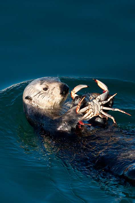 California sea otter dines on crab.