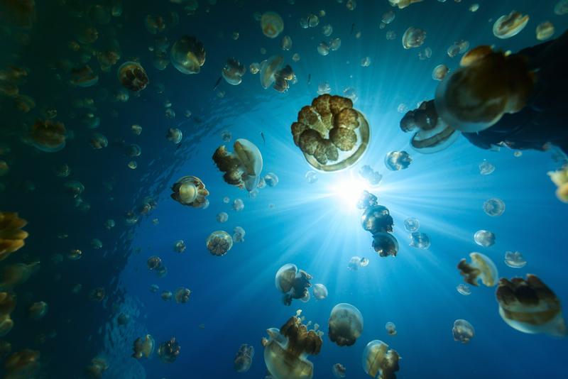 Jellyfish Lake is a popular snorkeling attraction on Palau.
