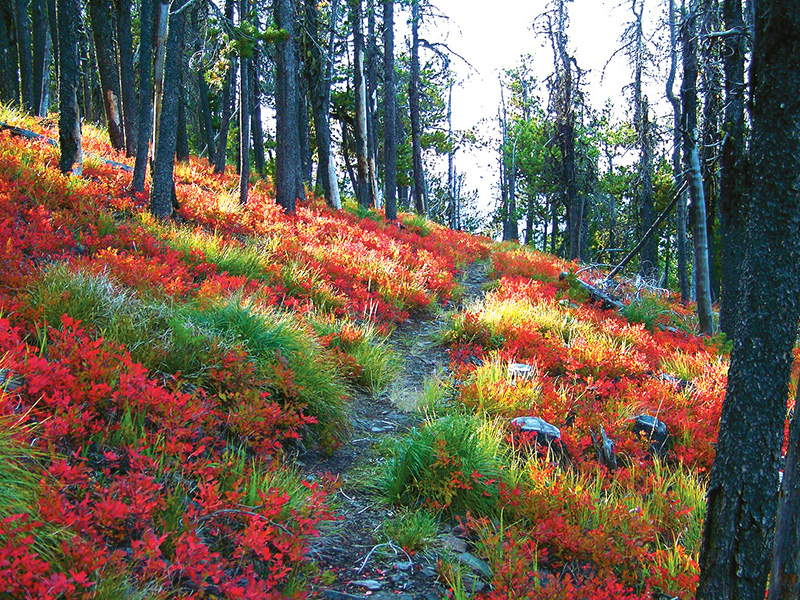 Wildflowers blanket the forest floor in Patrick's Knob roadless area in Montana's Coeur D'Alene Mountains.