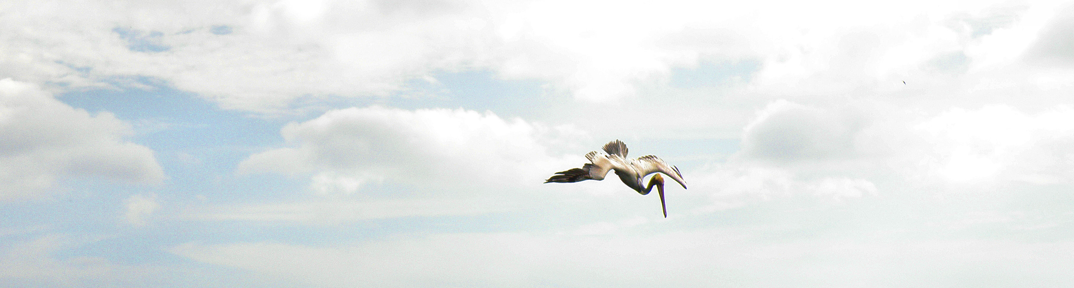 Pelican taking a dive