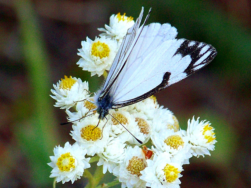 A pine white butterfly rests on Pearly Everlasting flowers in the Patrick's Knob Roadless Area in Montana.