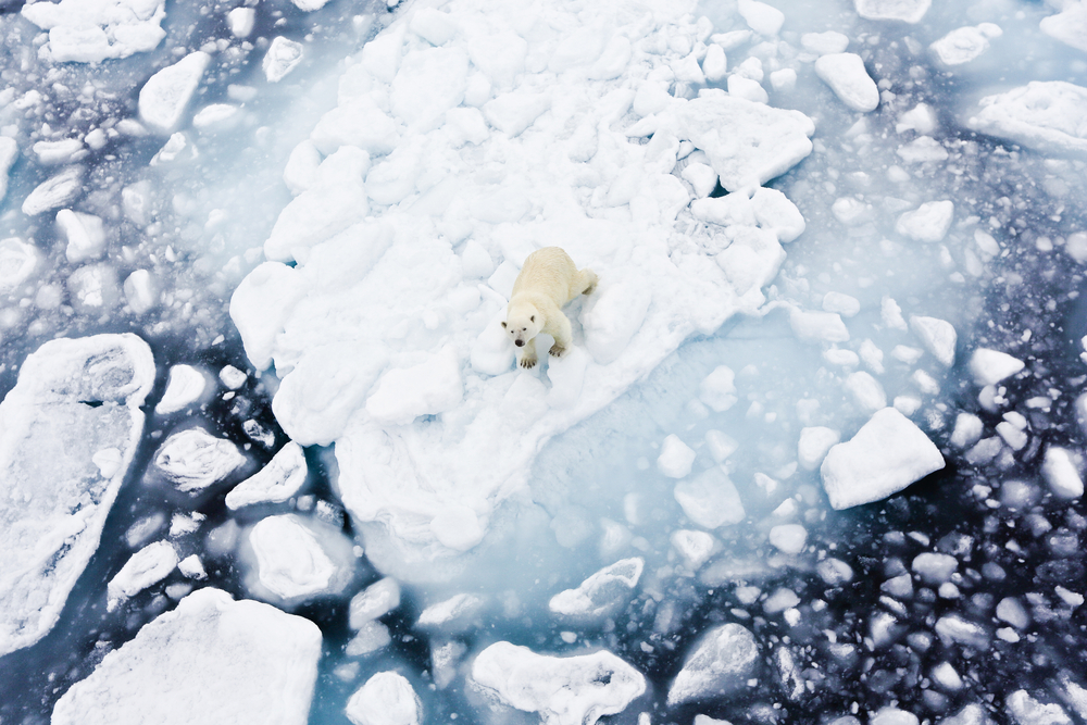 A polar bear traverses the ice.