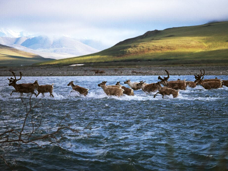 Porcupine caribou crossing a river in the Arctic National Wildlife Refuge.