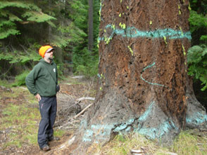 Old growth Douglas Fir in Spencer Creek. Credit: George Sexton / Klamath-Siskiyou Wildlands Center.