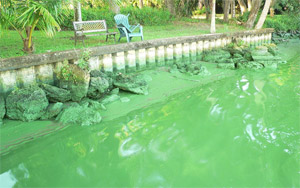 Microcystis bloom in Caloosahatchee River at Olga, Florida approximately a mile and a half west of the Franklin Lock, south side of the river, October 14, 2005.