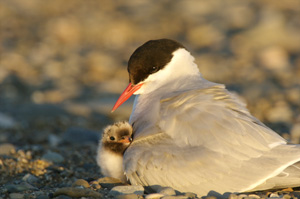 An arctic tern chick seeks refuge from the wind under the warm feathers of its mother. Barrier Island, Beaufort Sea.