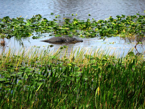 Alligator in a marsh at Loxahatchee National Wildlife Refuge. (Valerie Passonno / Flickr)