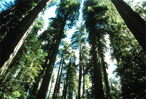 Old growth forest. WOPR has been controversial since 2003, when the Bush administration settled a long dormant timber industry lawsuit with the promise to issue a new plan that dramatically increased logging. (USGS)