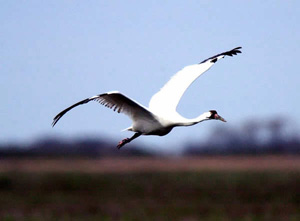 Named for their distinctive whooping calls, the whooping crane is the tallest bird in North America and one of its most endangered; there are only 400 or more whooping cranes left in the wild today. (FWS)